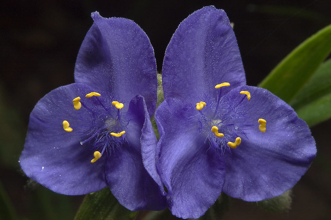 Blue flowers of spiderwort (tradescantia) in Lick Creek Park. College Station, Texas
