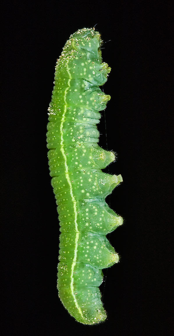 Texas Caterpillars Search In Pictures