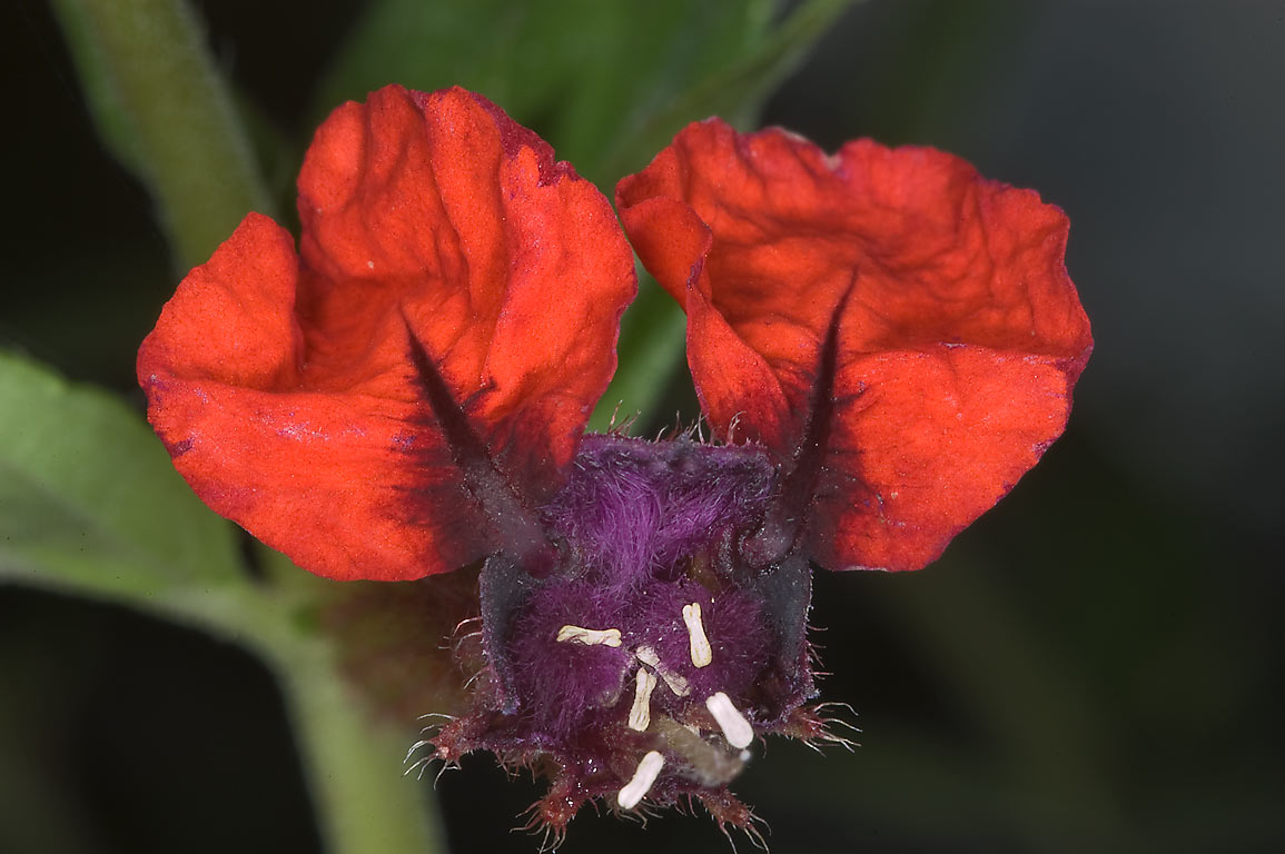 Bat-Face Cuphea (Bunny Ears, Cuphea llavea) in Antique Rose Emporium. Independence, Texas