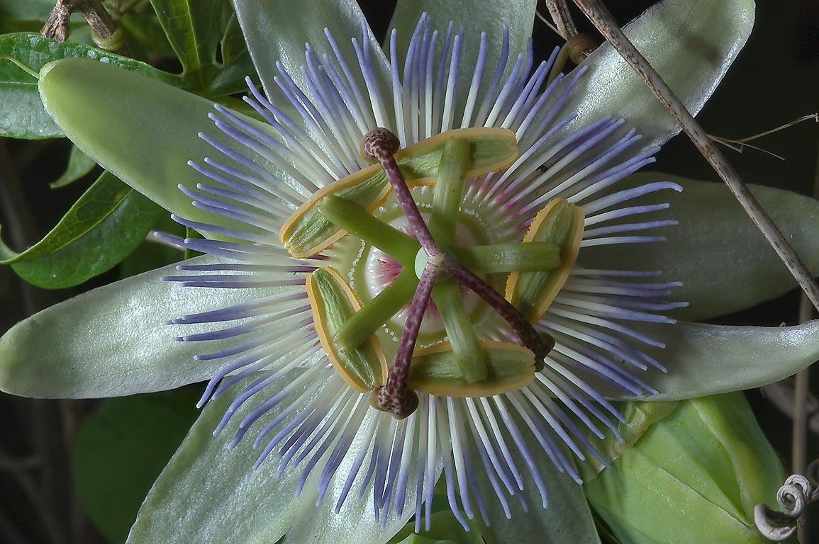 Pale green passiflora (passion flower) in TAMU...M University. College Station, Texas