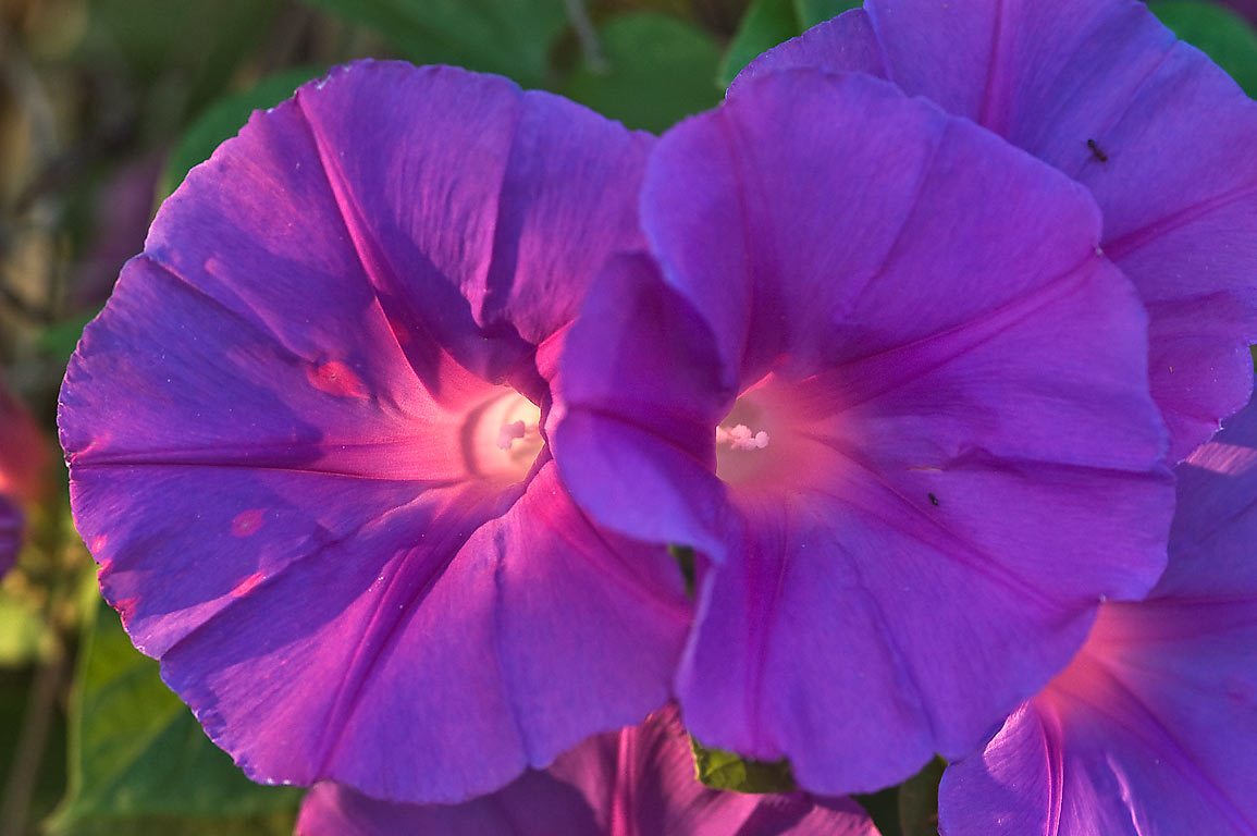 Morning glory (Ipomoea indica) in TAMU Holistic...M University. College Station, Texas