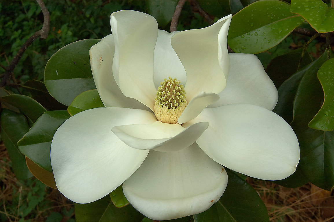 Big white flower of Southern magnolia (Magnolia...State Historic Site. Washington, Texas