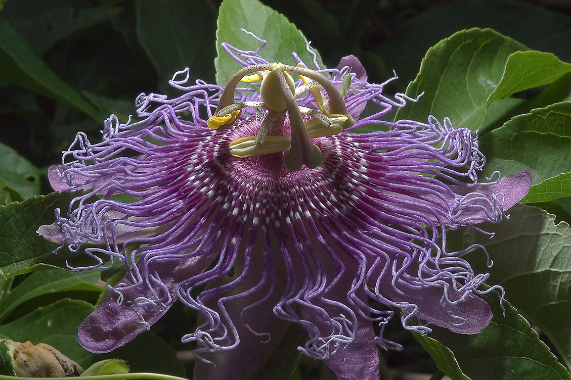 Purple passion flower (passiflora) in TAMU...M University. College Station, Texas