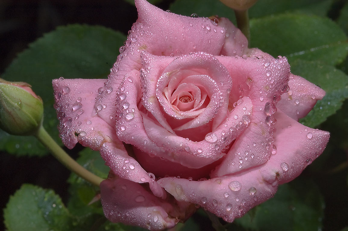 Pink rose with water drops in TAMU Horticultural...M University. College Station, Texas