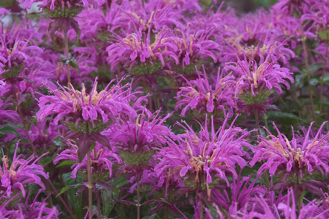 Pink beebalm (monarda) in TAMU Horticultural...M University. College Station, Texas