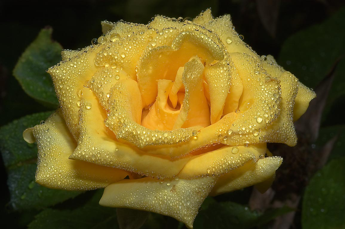 Yellow rose with water drops in TAMU...M University. College Station, Texas