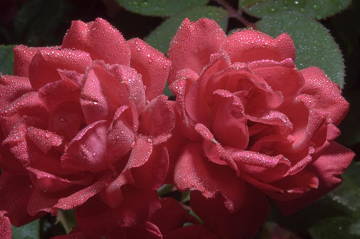 Red roses in dew in TAMU Horticultural Gardens in...M University. College Station, Texas