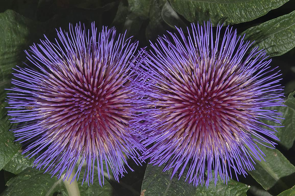 Artichoke thistle (Cynara cardunculus) flowers in...M University. College Station, Texas