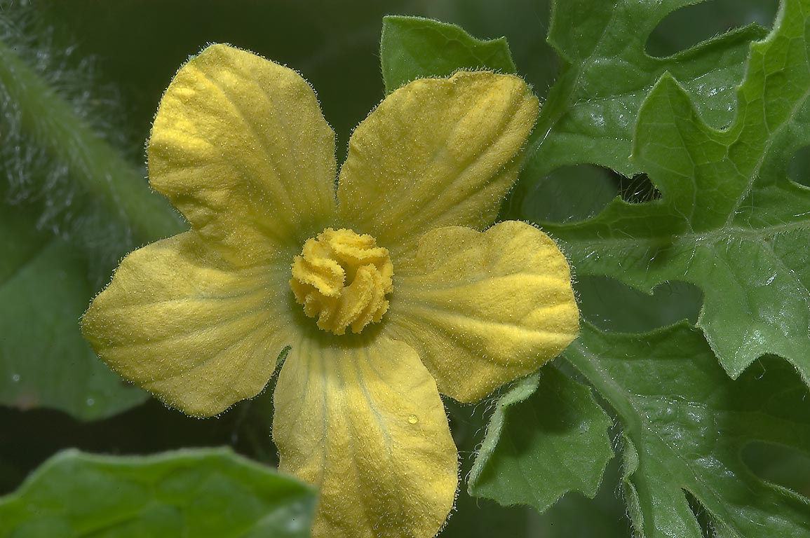 Yellow flower of Loufa gourd (Loofah Sponge Gourd...M University. College Station, Texas