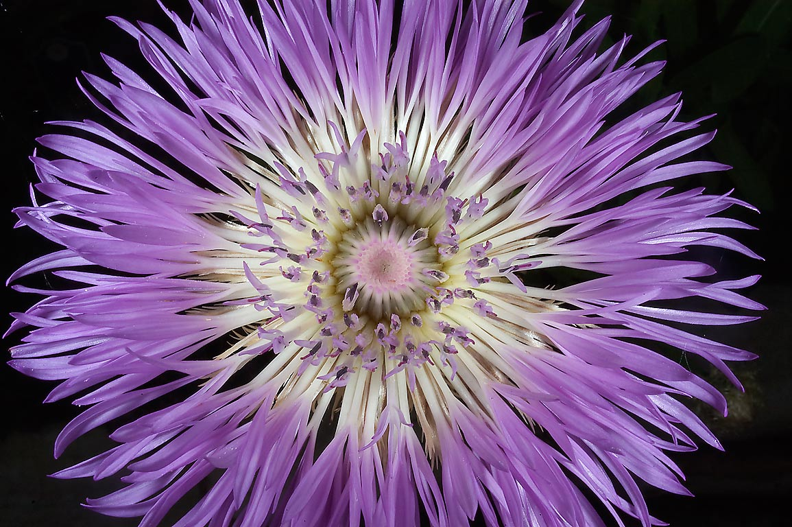 Top view of basket flower (Centaurea americana...M University. College Station, Texas