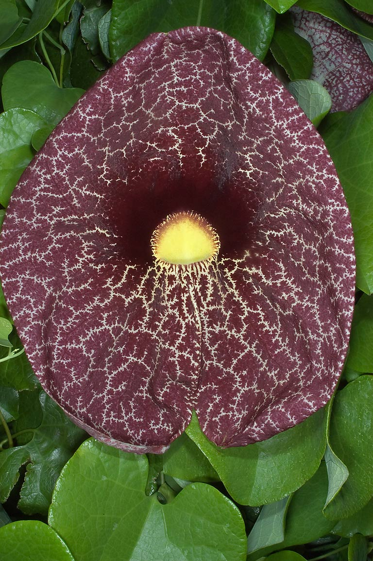 Pipevine (Aristolochia) in TAMU Holistic Garden...M University. College Station, Texas