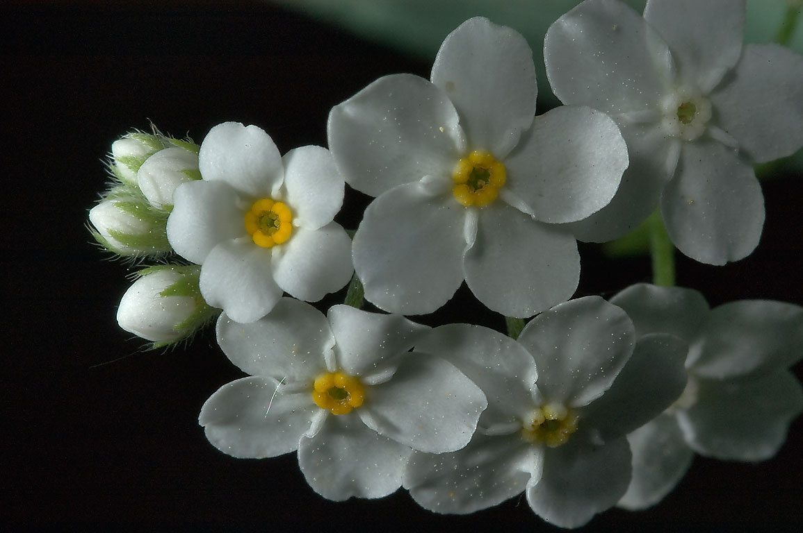 Slideshow 754 22 White Phenotype Of Forget Me Not Flowers In