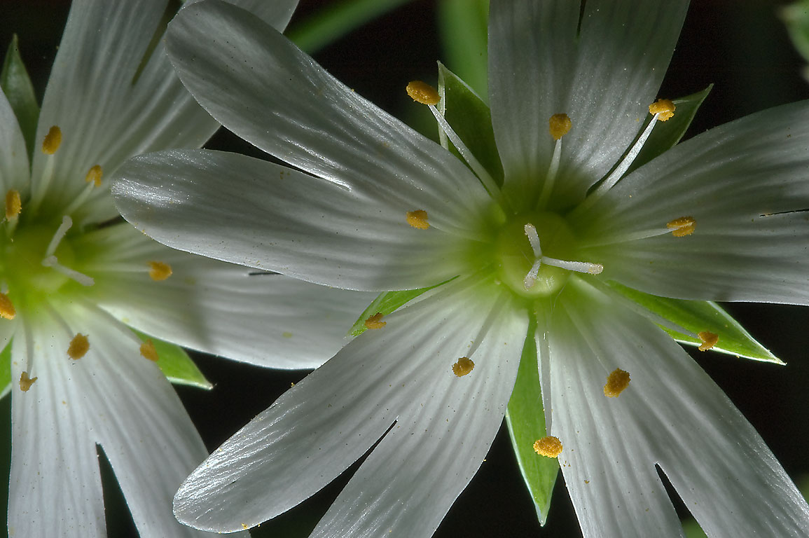 Greater stitchwort (Stellaria holostea) in...miles south from St.Petersburg. Russia