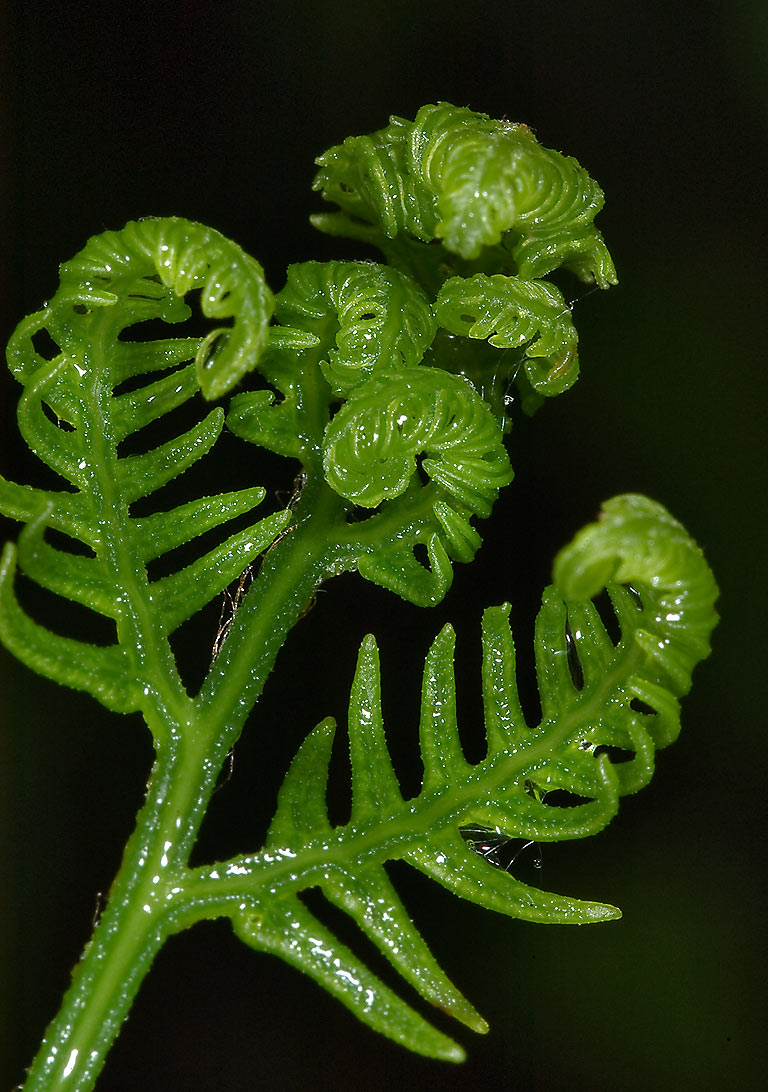 Young leaves of bracken fern (Pteridium aquilinum...miles north from St.Petersburg. Russia