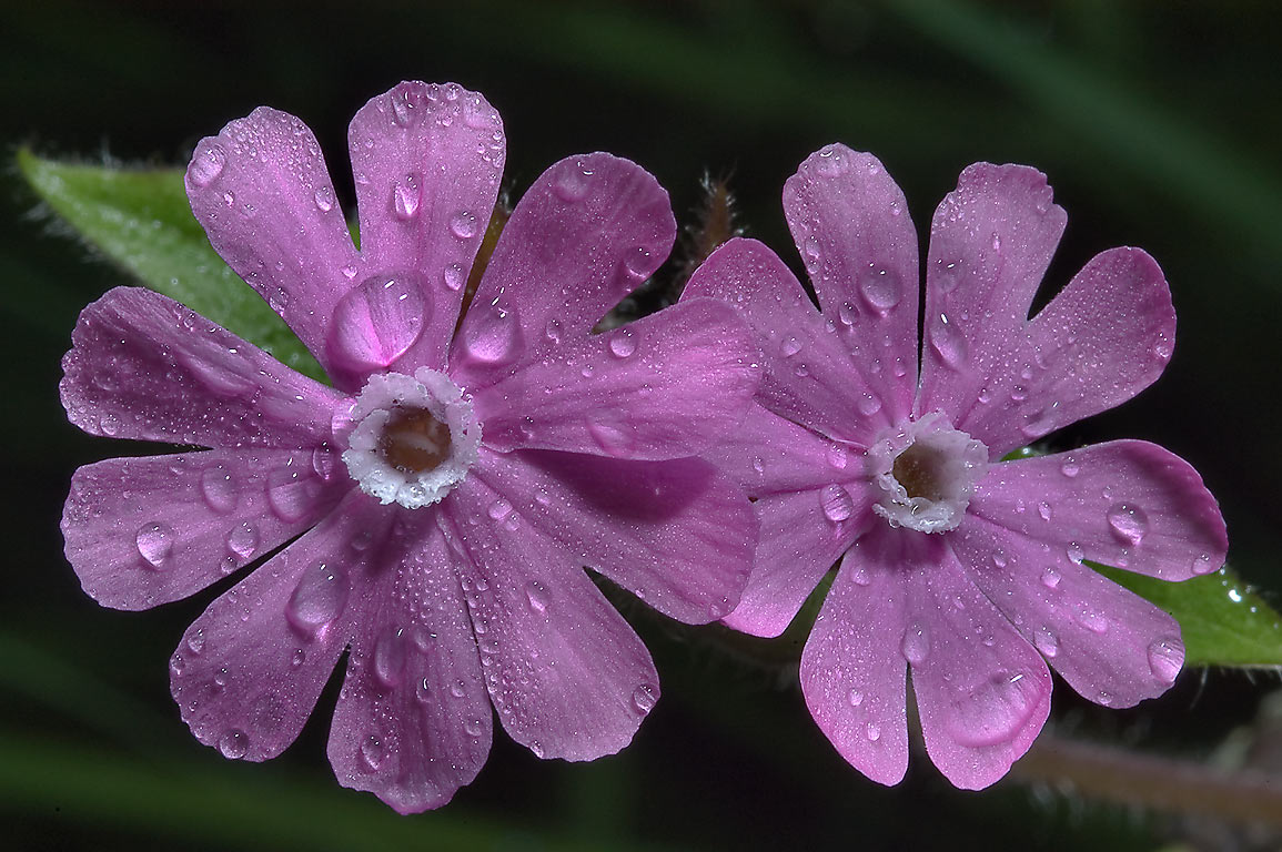 Pink flower of Red campion (Silene dioica...miles north from St.Petersburg. Russia