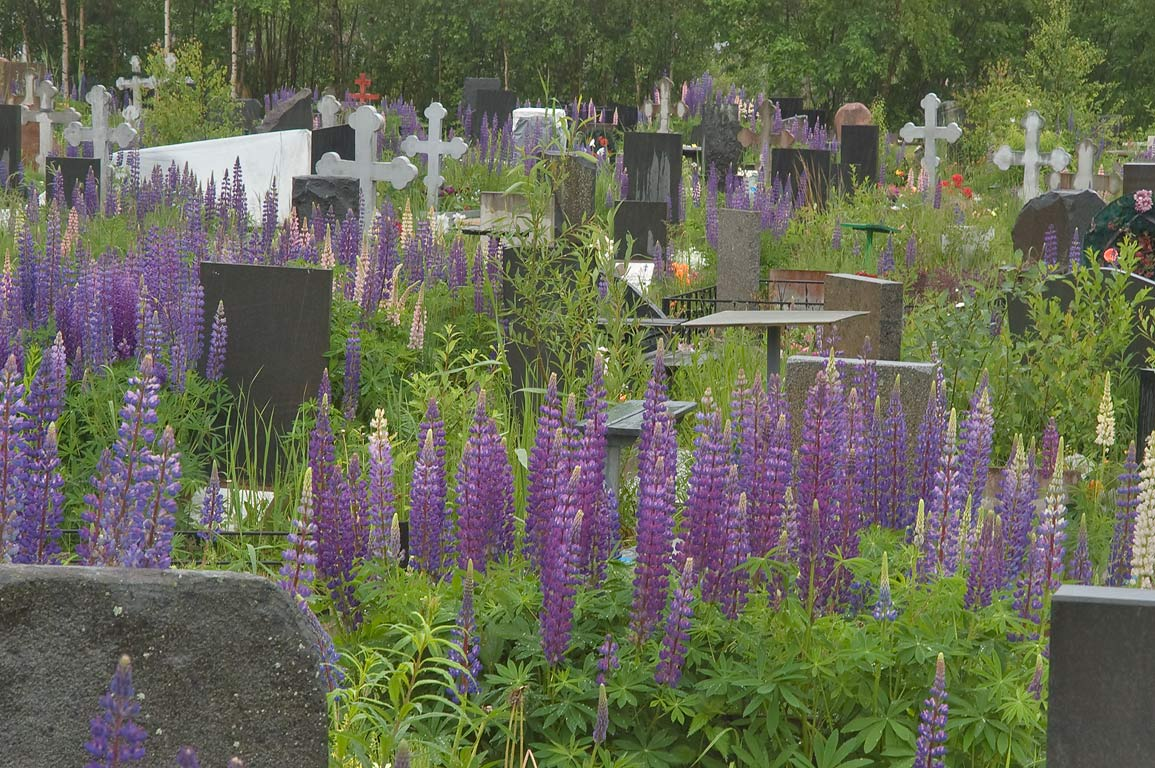 Lupin flowers in Severnoye (North) Cemetery. St.Petersburg, Russia