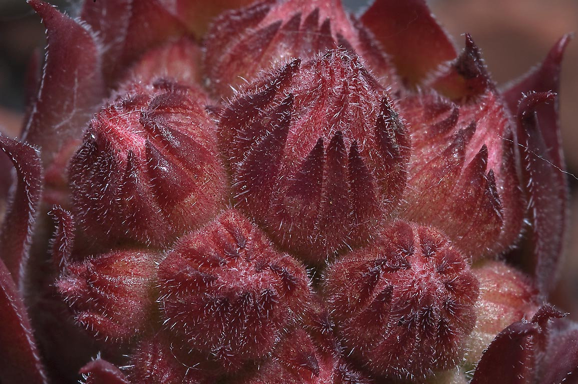 Flower buds of sempervivum plant in Botanic...Institute. St.Petersburg, Russia