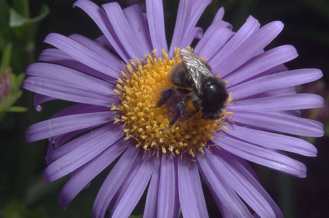 Aster with a bumblebee in Botanic Gardens of...Institute. St.Petersburg, Russia