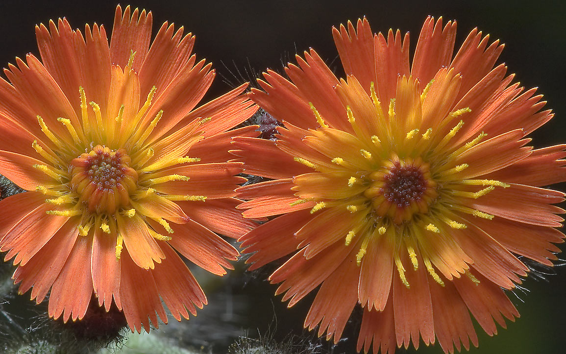 Close up of Orange Hawkweed (Hieracium...Institute. St.Petersburg, Russia