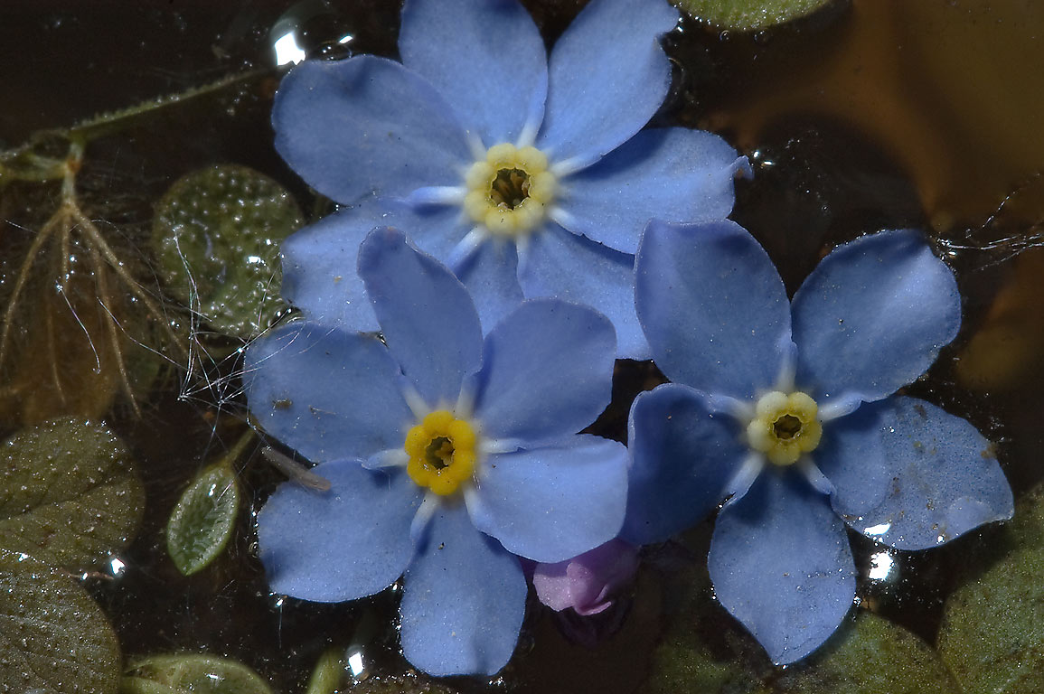 Petals of forget-me-not (Myosotis) in a small...Institute. St.Petersburg, Russia