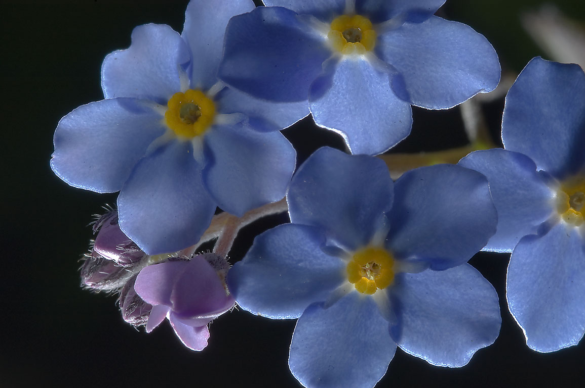Blue flowers of forget-me-not (Myosotis) in...Institute. St.Petersburg, Russia