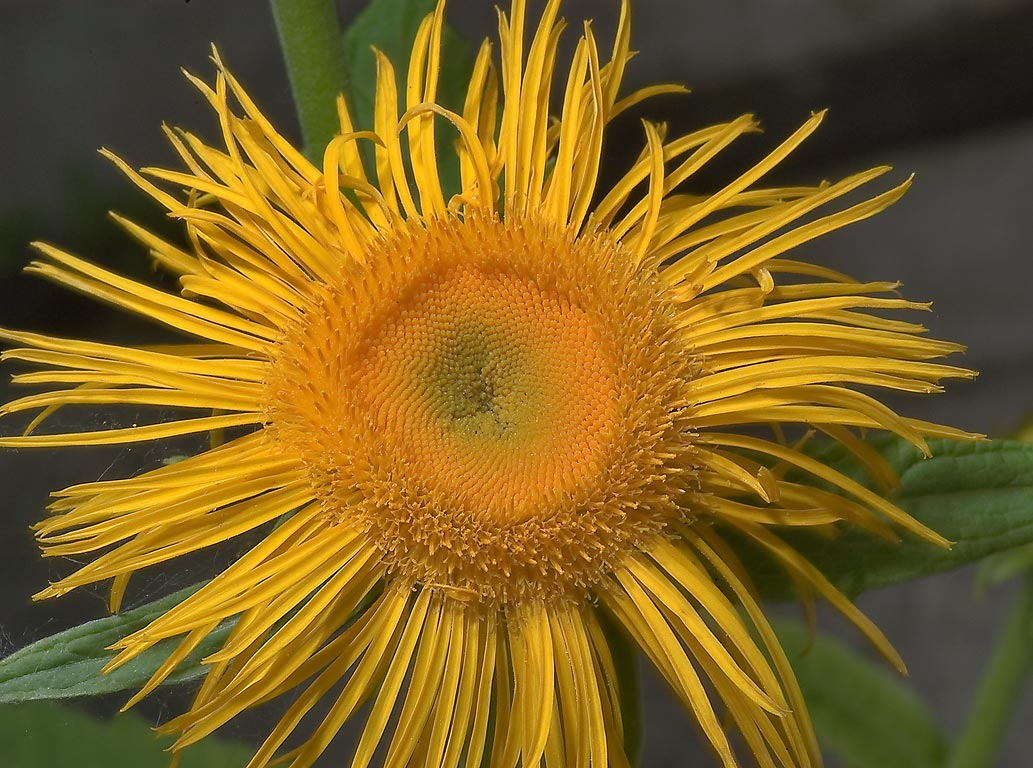 Elecampane (Inula helenium) in Botanic Gardens of...Institute. St.Petersburg, Russia