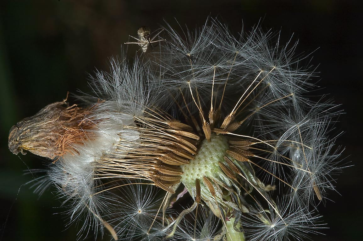 Seed head of common dandelion (Russian name...miles north from St.Petersburg, Russia