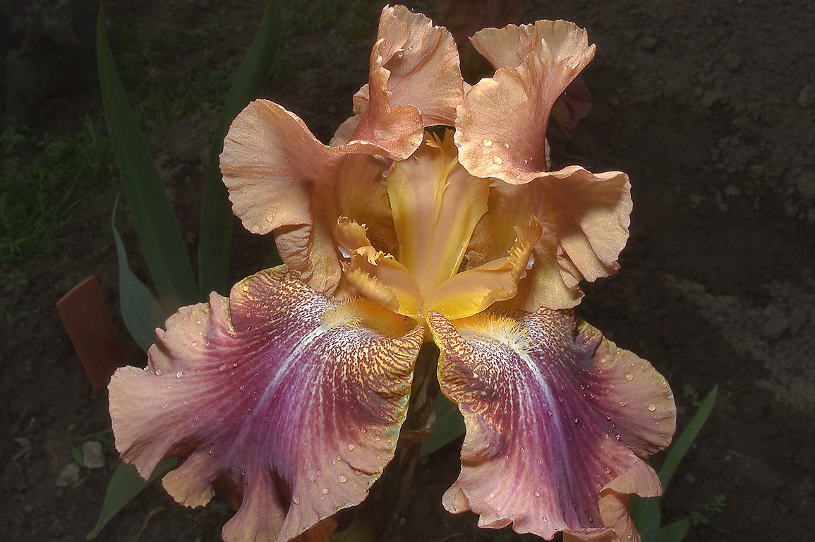 Brown Siberian bearded iris in Botanic Gardens of...Institute. St.Petersburg, Russia
