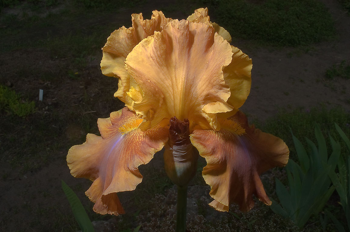Brown bearded iris in Botanic Gardens of Komarov...Institute. St.Petersburg, Russia