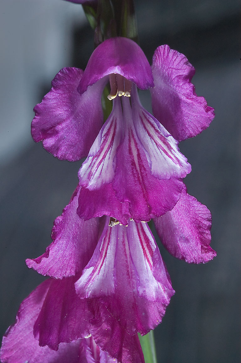 Purple flowers of Gladiolus byzantinus in Botanic...Institute. St.Petersburg, Russia