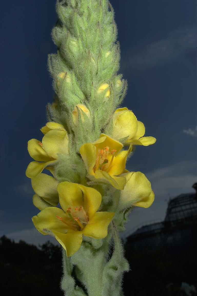 Common Mullein (Verbascum thapsus) in Botanic...Institute. St.Petersburg, Russia