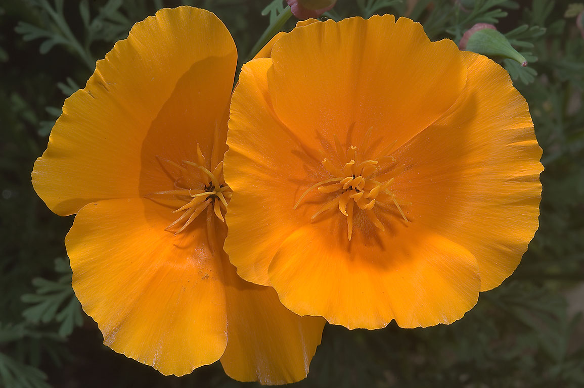 Gold poppy (Eschscholzia) in Botanic Gardens of...Institute. St.Petersburg, Russia