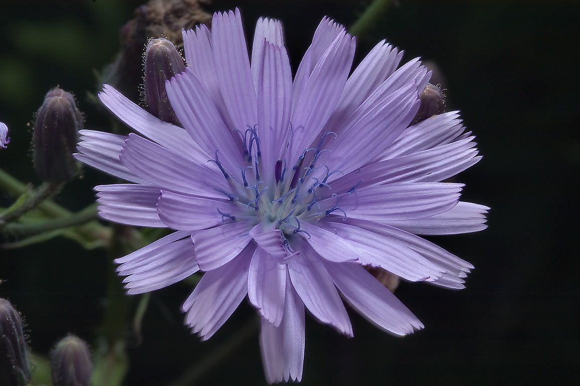 Chicory-like flower of Siberian Lettuce (Lactuca...Institute. St.Petersburg, Russia