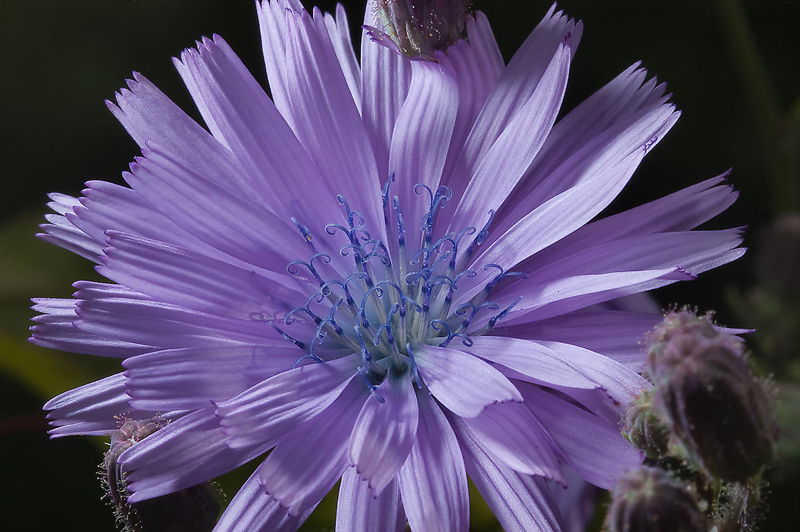 Close up of chicory-like flower of Siberian...Institute. St.Petersburg, Russia
