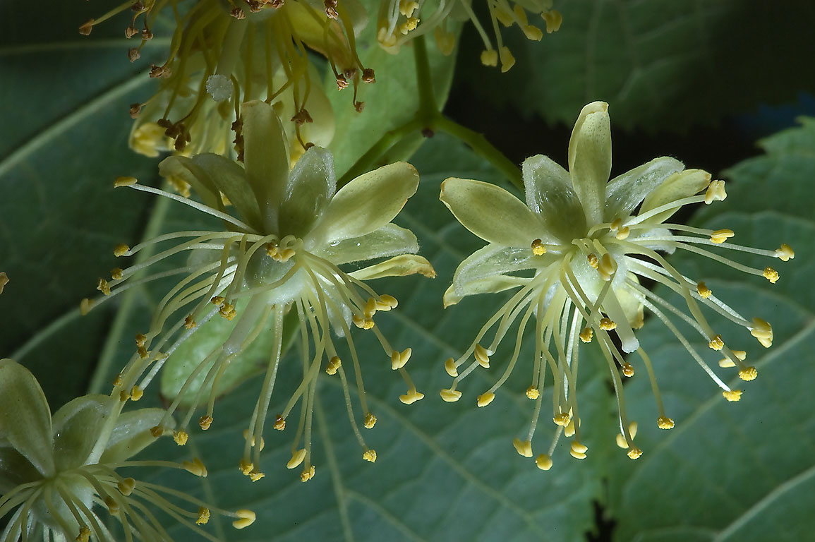 Fragrant yellowish flowers of linden (Tilia...Institute. St.Petersburg, Russia