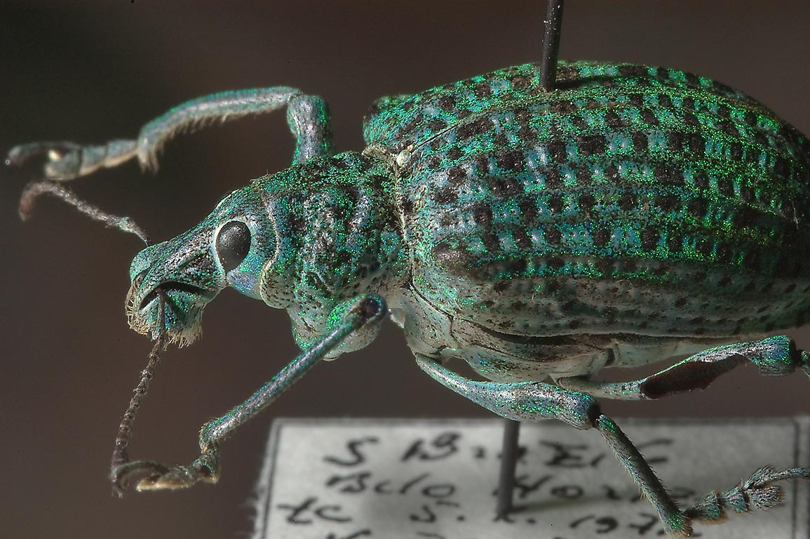 Green beetle in entomological collection. Pushkin, suburb of St.Petersburg, Russia