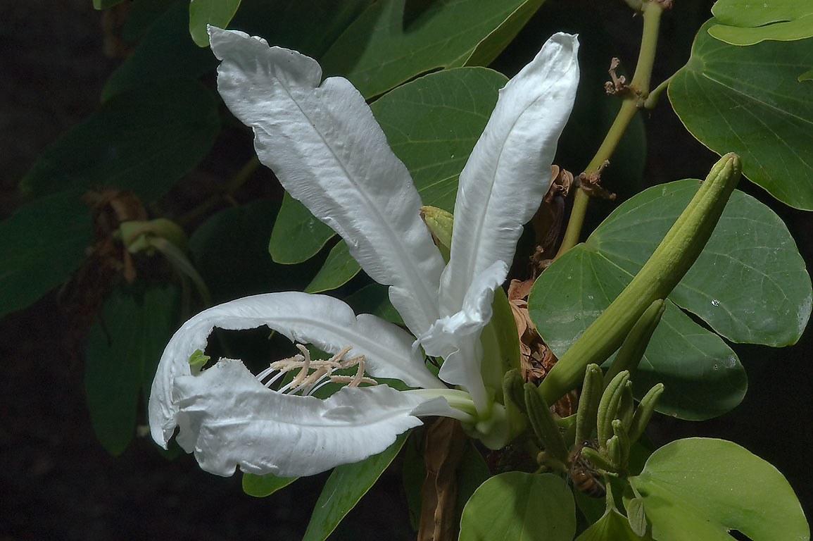 White Orchid Tree (Bauhinia forficata) in TAMU...M University. College Station, Texas