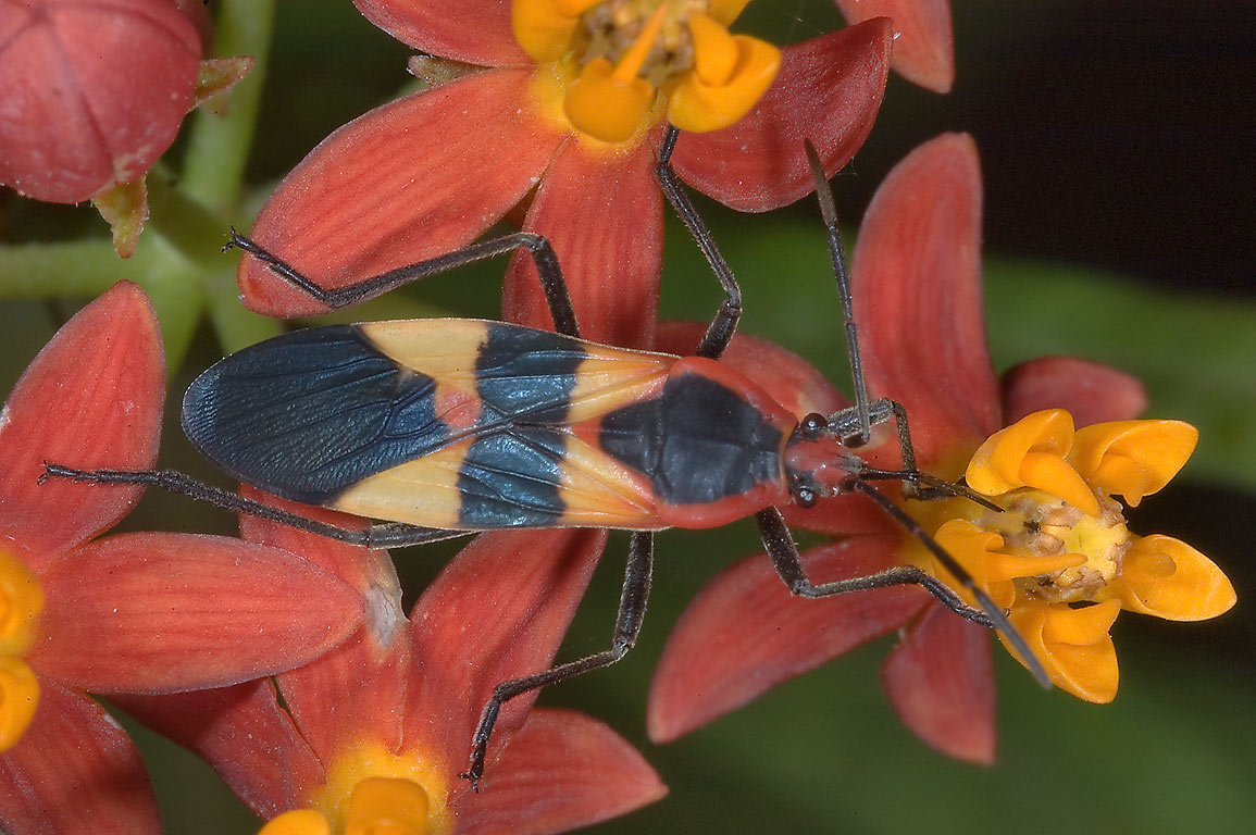Large milkweed bug (Oncopeltus fasciatus) on...M University. College Station, Texas