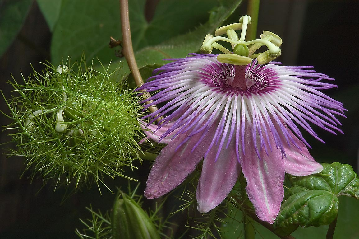 Passion flower (passiflora) in TAMU Holistic...M University. College Station, Texas