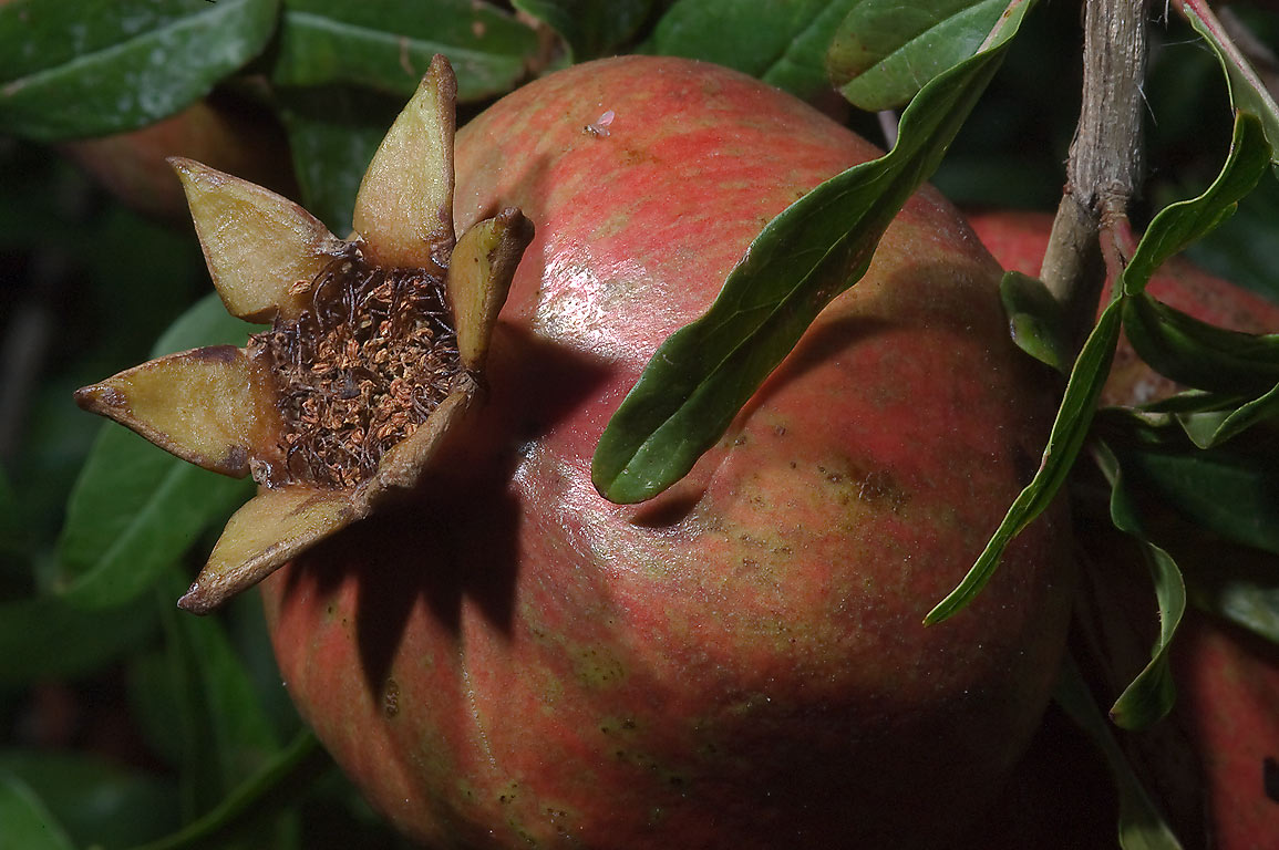 Pomme grenade (pomegranate, Punica granatum) in...M University. College Station, Texas