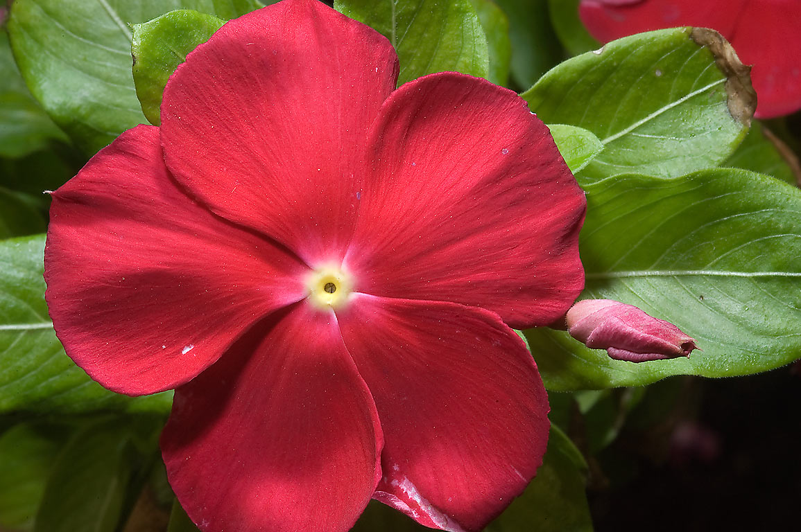 Red flowers of rose periwinkle (Madagascar...M University. College Station, Texas