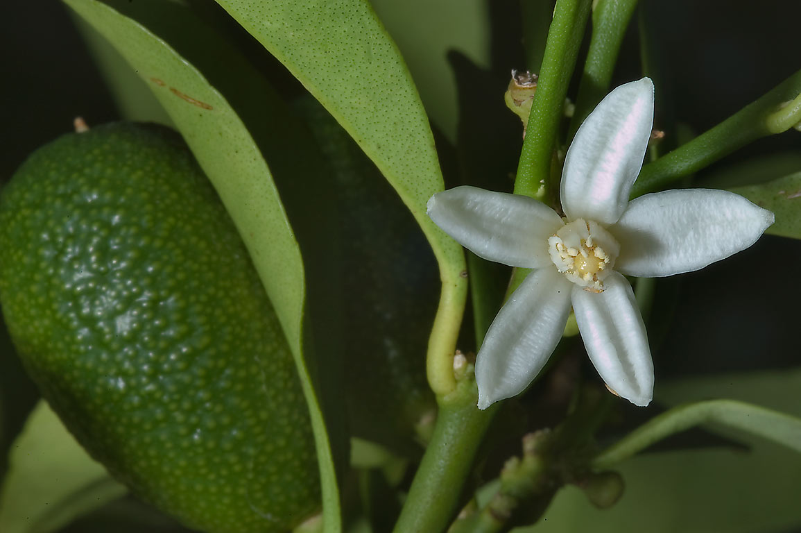 Blooming citrus in TAMU Holistic Garden in Texas...M University. College Station, Texas