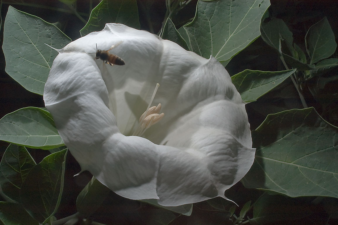 White flower of Jimsonweed (Datura) with a bee in...M University. College Station, Texas