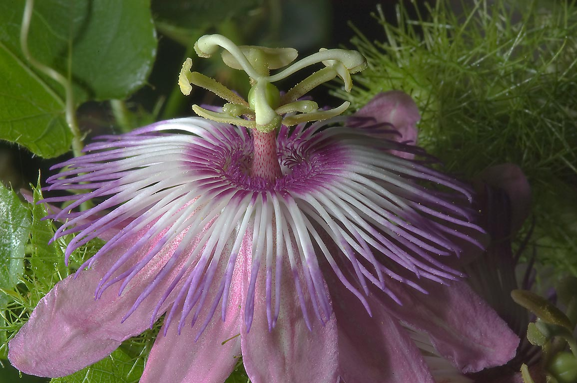 Pink passion flower (passiflora) in TAMU Holistic...M University. College Station, Texas