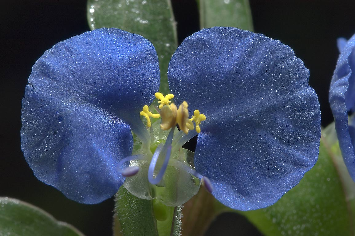 Close up of dayflower (Commelina) in Lick Creek Park. College Station, Texas