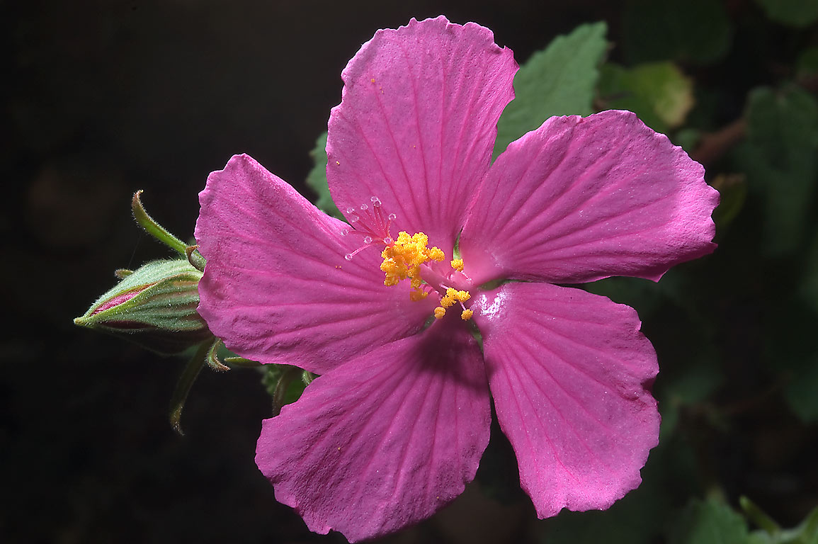 Rock rose flower (Pavonia) in TAMU Horticultural...M University. College Station, Texas
