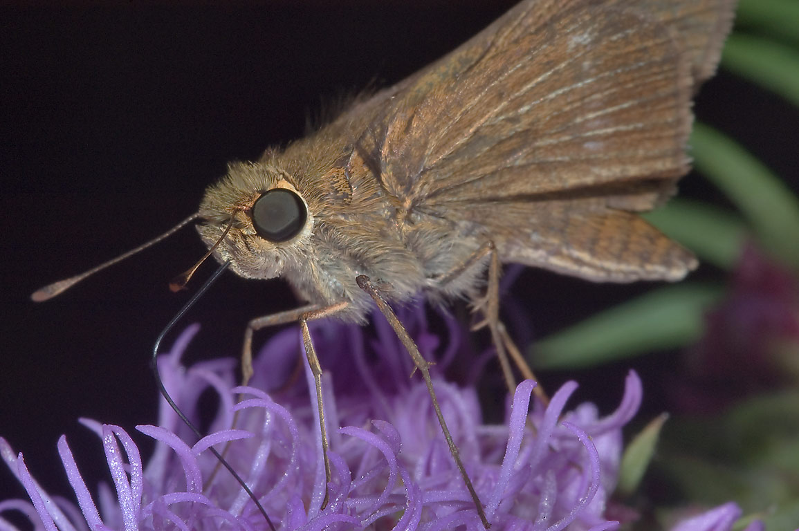 Skipper butterfgly on gayfeather (Liatris) in...Houston National Forest. Richardson