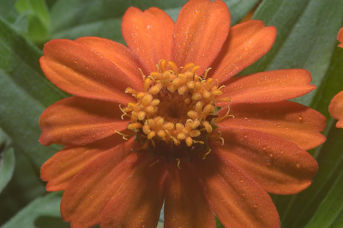 Orange flower of Mexican Sunflower (Tithonia...M University. College Station, Texas