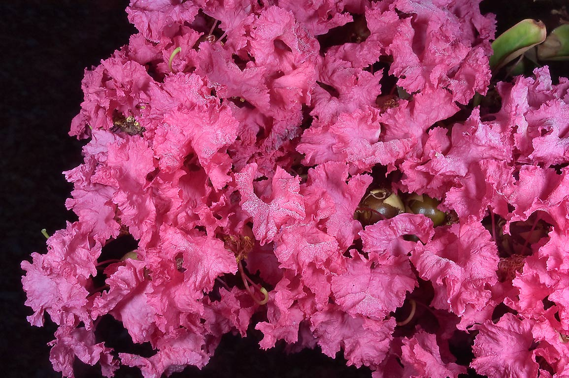 Pink flowers of Crape myrtle (Crepe-myrtle...M University. College Station, Texas
