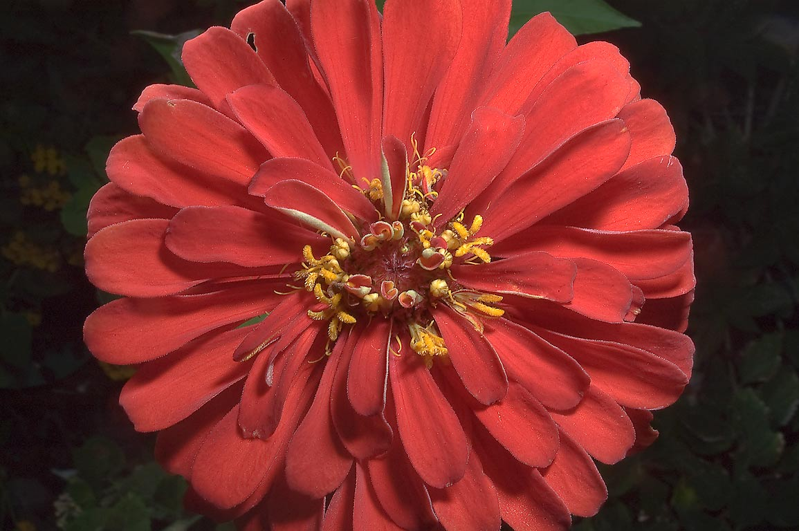 Red zinnia flower in TAMU Horticultural Gardens...M University. College Station, Texas